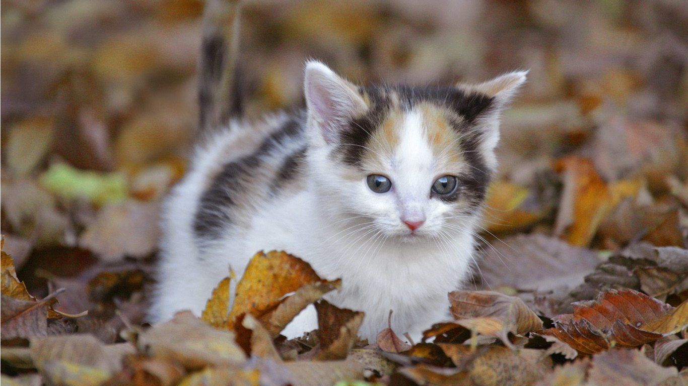 Free Cat Screensavers Of Cute Cat Breeds Screensaver