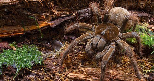 This Guy Had The Best Reaction When He Bumped Into The Biggest Spider In The World.
