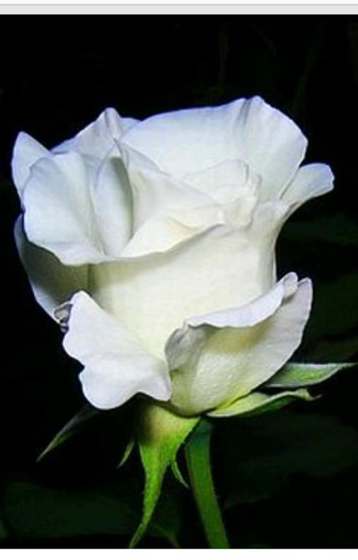Sign In Flores Bonitas Rosas Blancas Brotes De Rosas