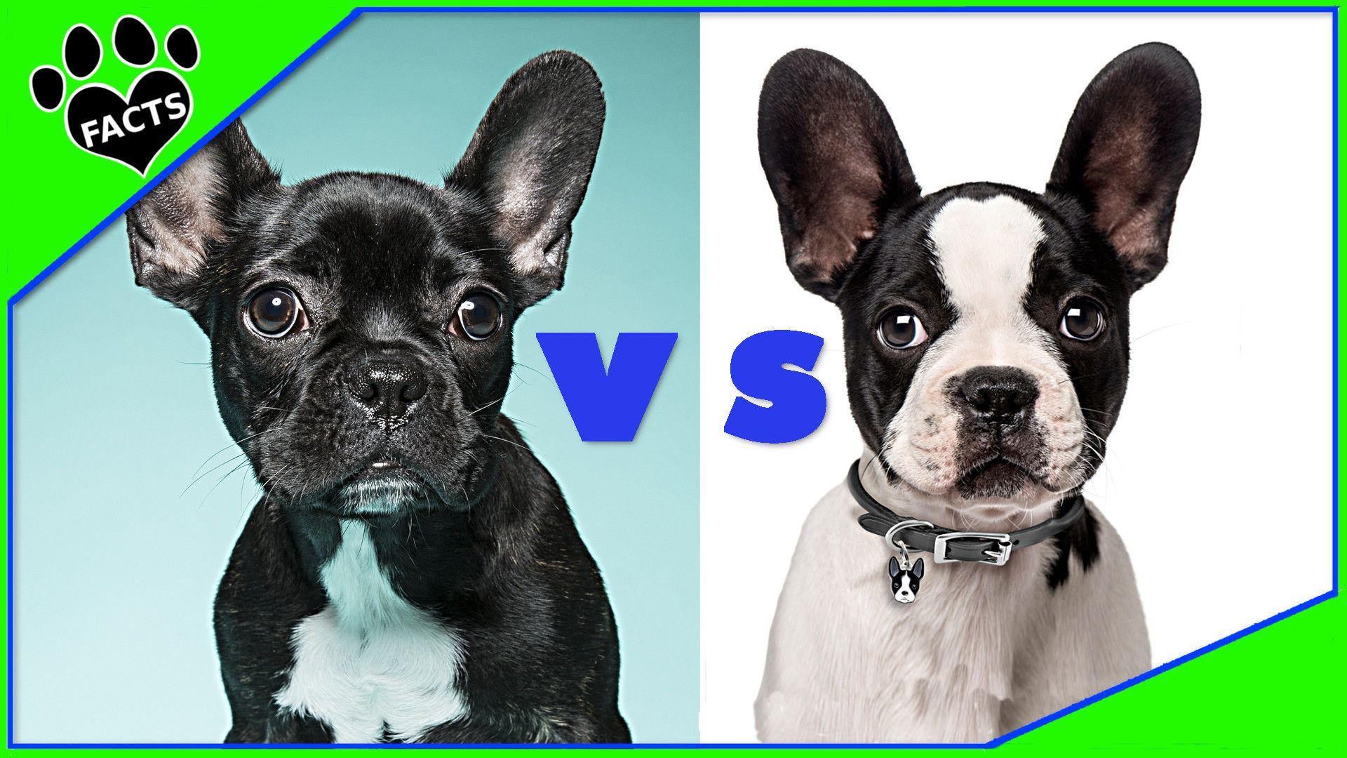 French Bulldog Vs Boston Terrier Which Is Better Dog Vs Dog