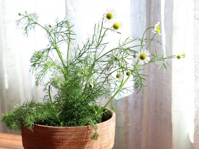 какие лекарственные растения выращивать