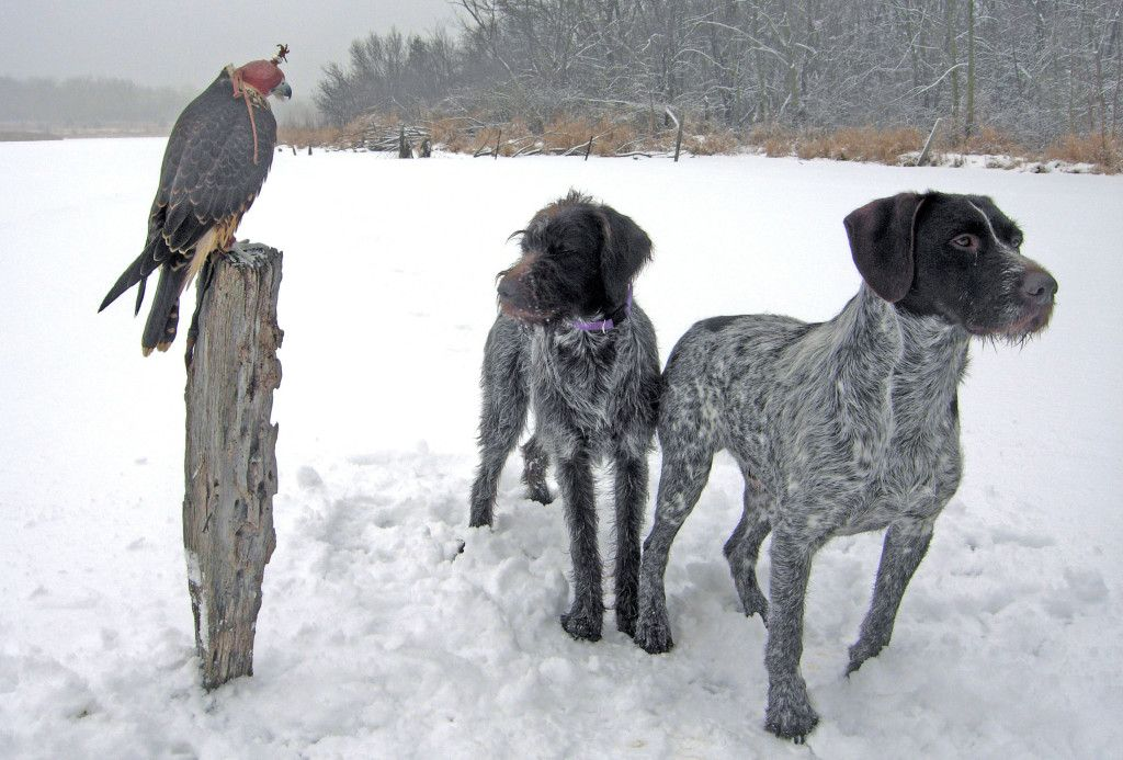 POINTING WIRE HAIRED GRIFFON: Pointing Wirehaired Griffon On Snow ~ petsrank.com Dogs Inspiration