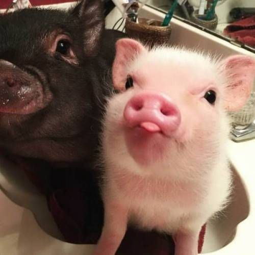Today's share: pet pigs