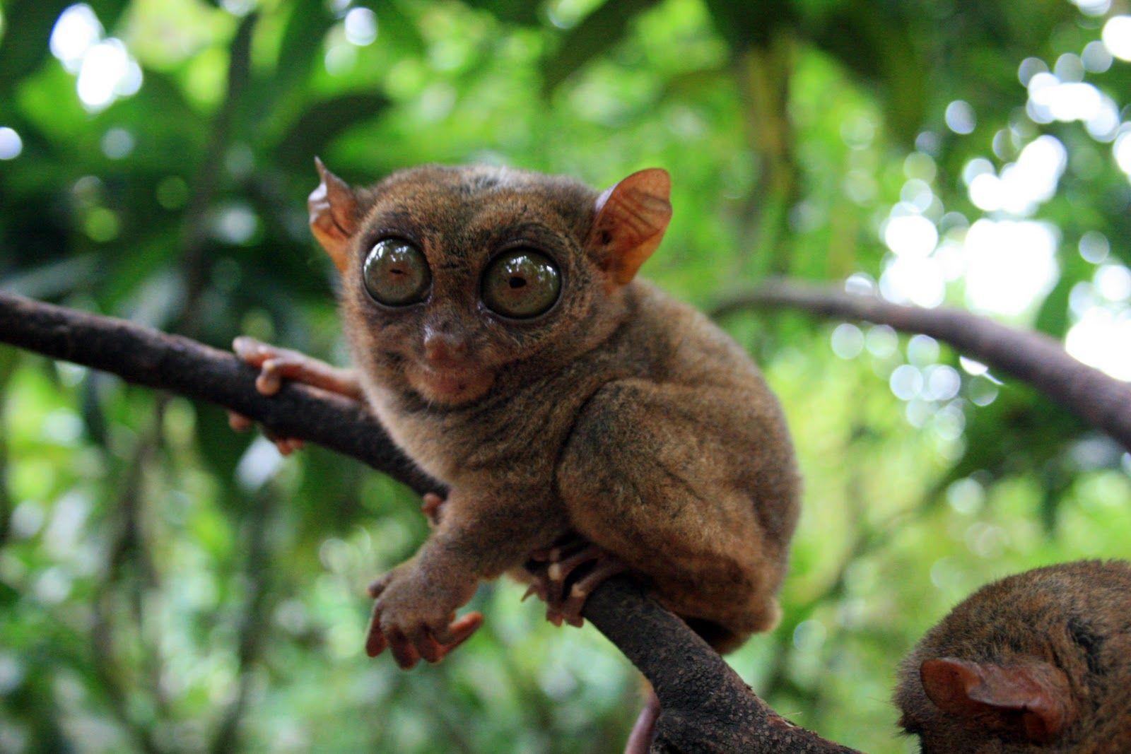 Tarsier is the unique monkey on Bohol Island of