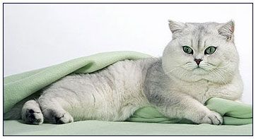 Pin By British Shorthair Cats On Katjes In 2020 British Shorthair Cats British Shorthair Cats And Kittens