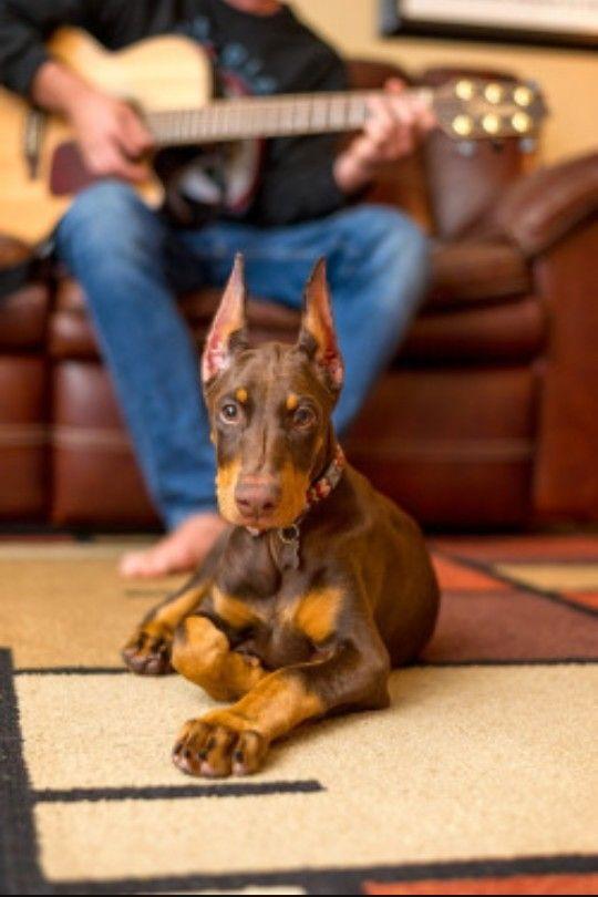 Baby Brown Doberman Pinscher Puppy Doberman Pinscher Dog
