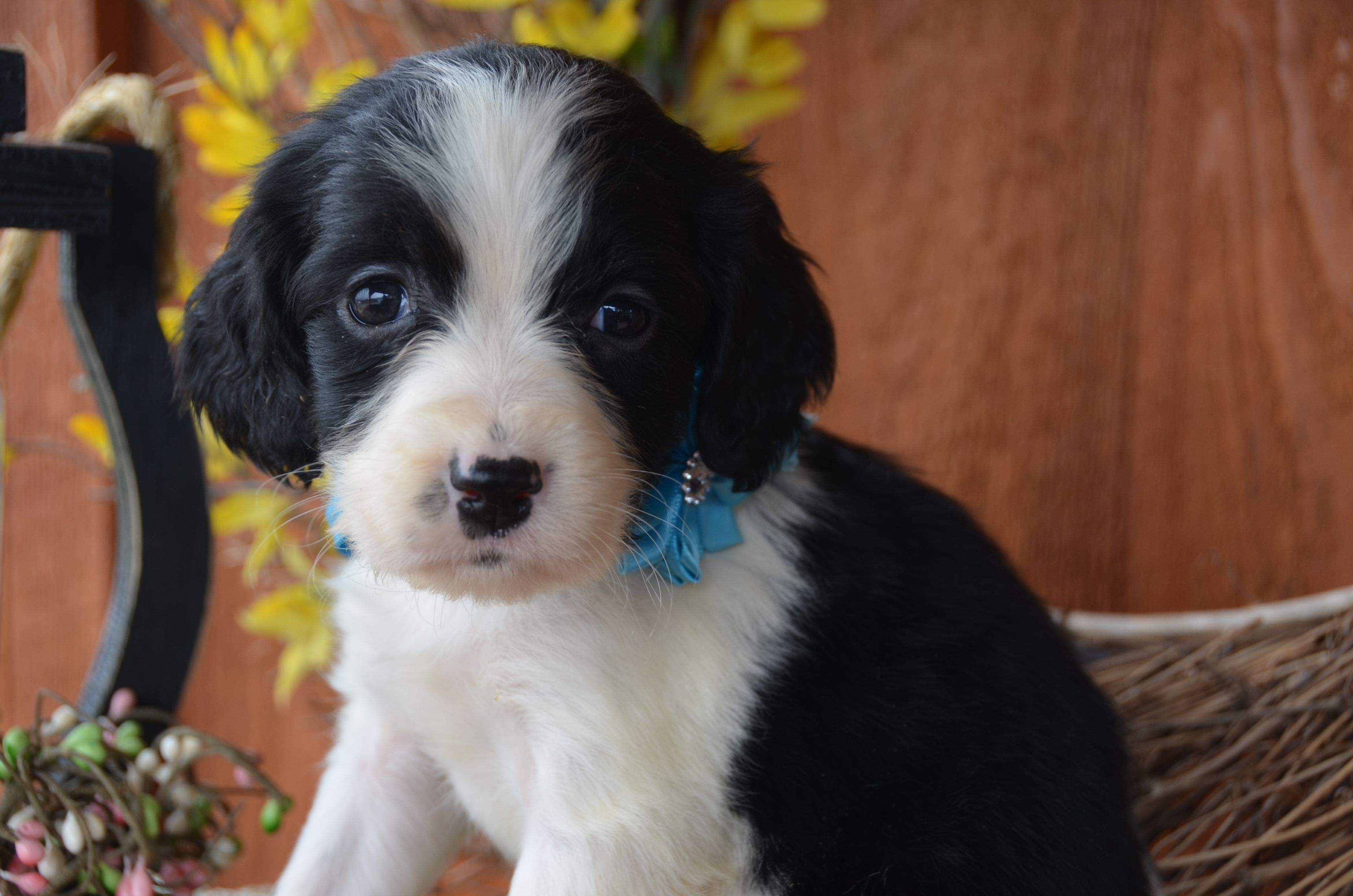 Black and white English Springer Spaniel puppy from