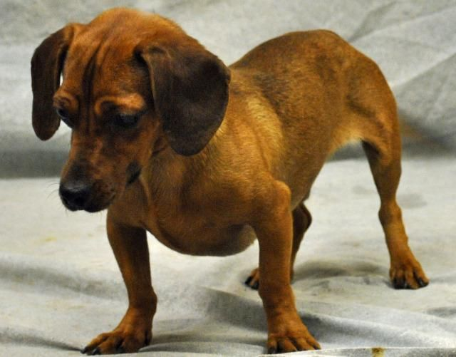 Meet Sunny A Petfinder Adoptable Dachshund Dog Modesto Ca