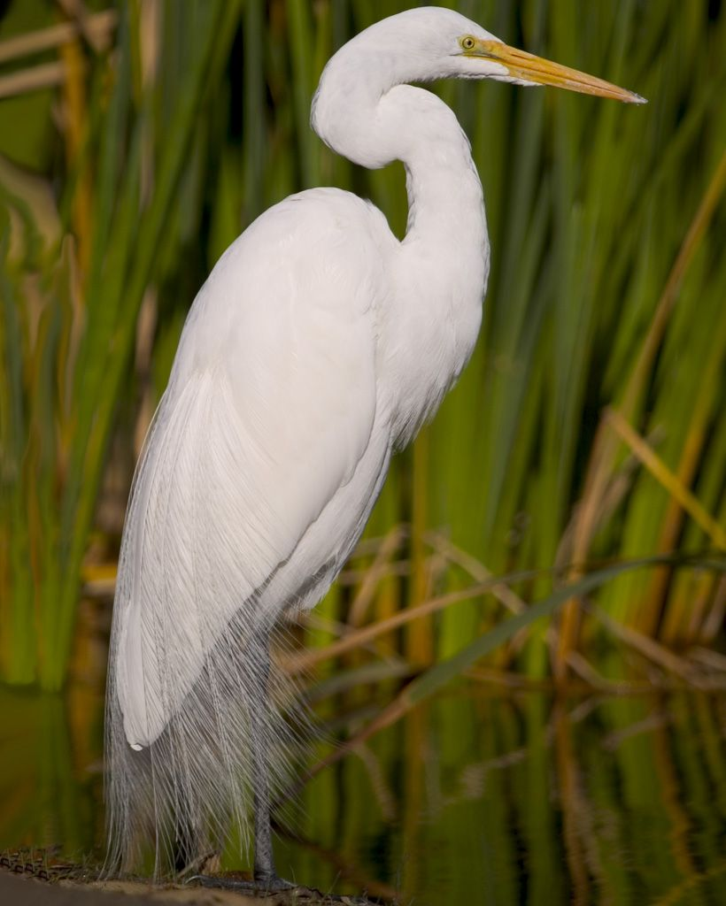 great egret audubon field guide for da boids pinterest