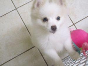 Blue Eyed Pomeranians Pomeranian Puppies For Sale Blue Eyed White Pom In 2020 Pomeranian Puppy For Sale Puppies Pomeranian Puppy
