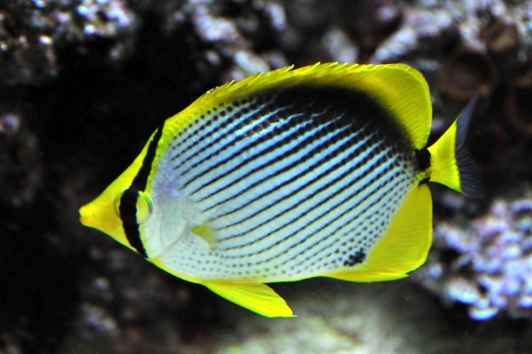 Chaetodon Melanotus Aquarium Fish Fish Pet Saltwater Aquarium
