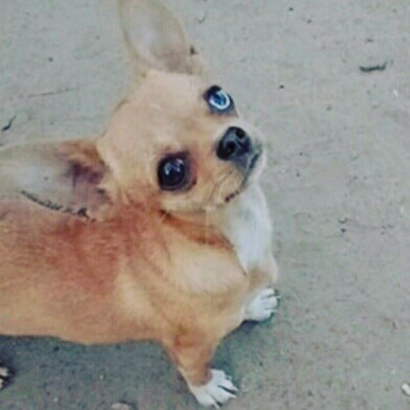 Pin By Brenda Stough On Chihuahua Babies Chihuahua Puppies