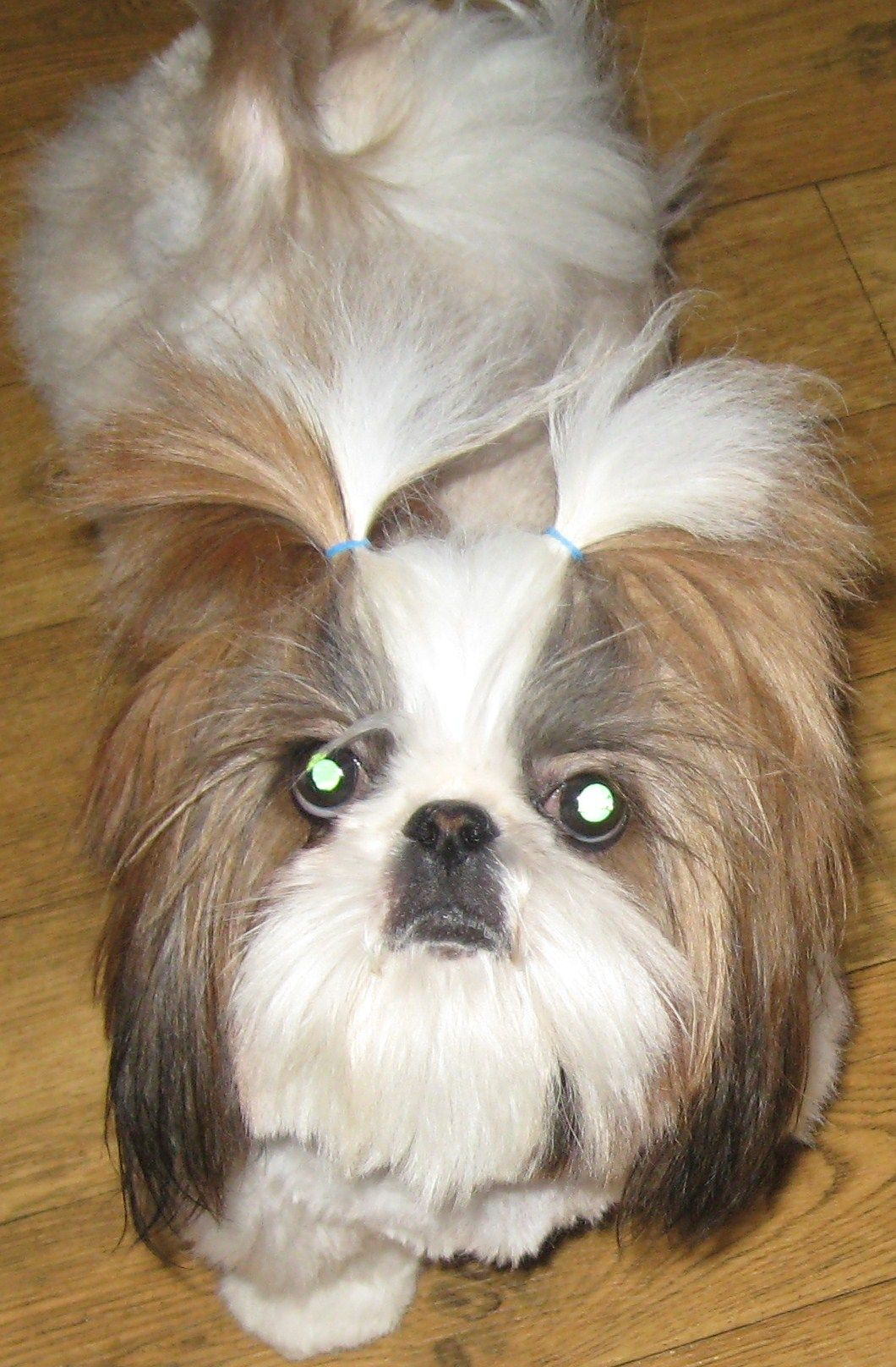 PandyOne of our AKC shih tzu moms at ShihTzuHappens and