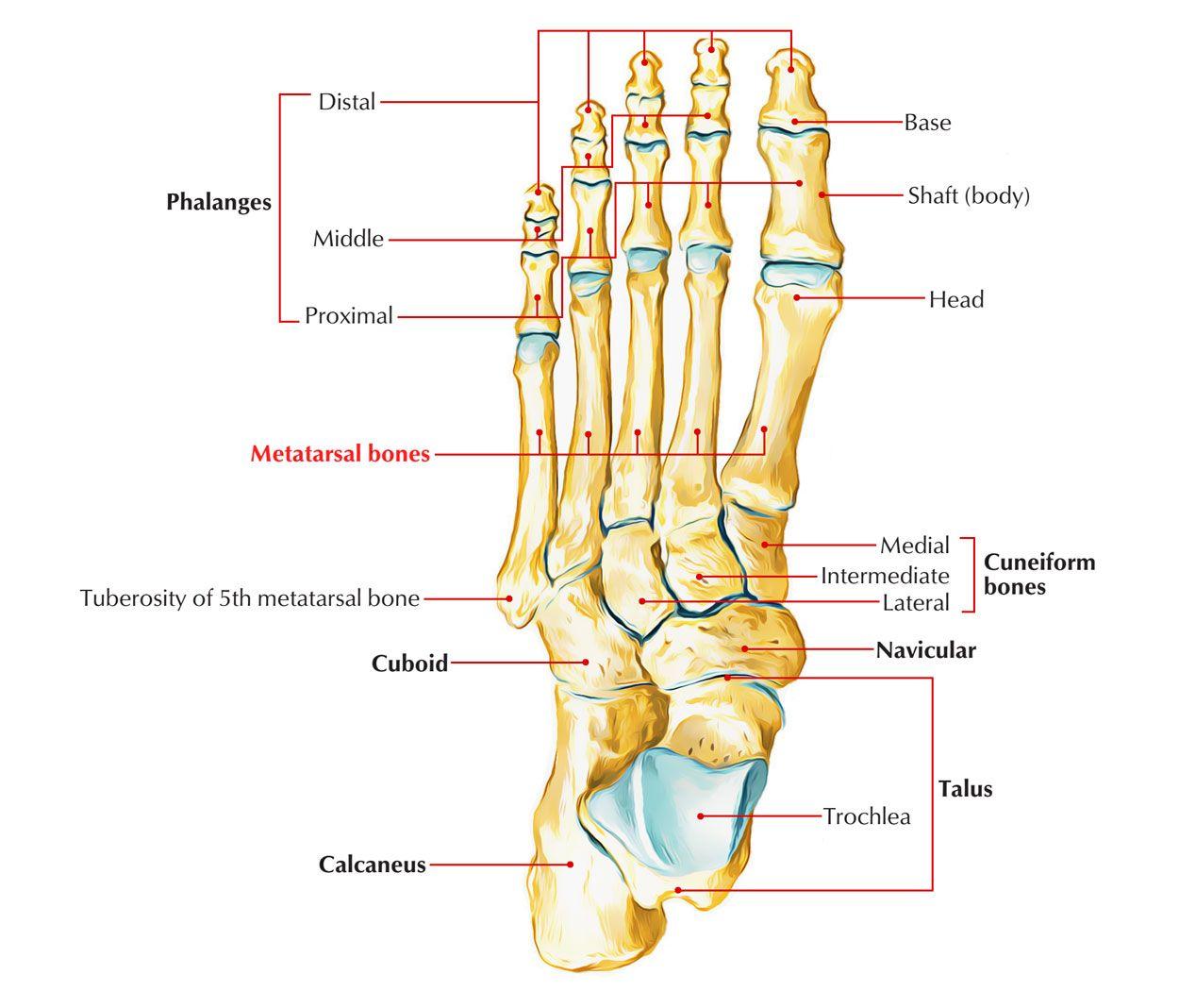 Metatarsal Bones Bones Quadrilaterals Jones Fracture