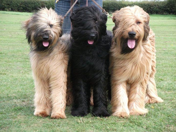 Pin By Jeri Clark On Animals I Love Briard Dog Beautiful Dog Breeds Guard Dog Breeds