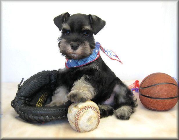 Taylor a super adorable mini schnauzer puppy, oh how