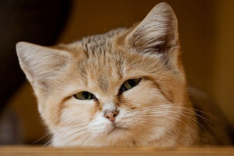 Барханный кот - дикая кошка необычайной красоты | Песчаная ...