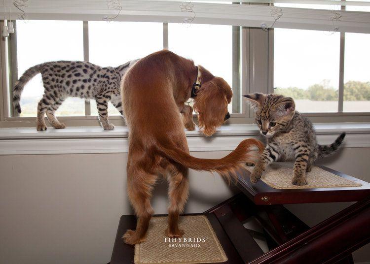 Savannah Cat Size Diet Temperament Price In 2020 Savannah Cat