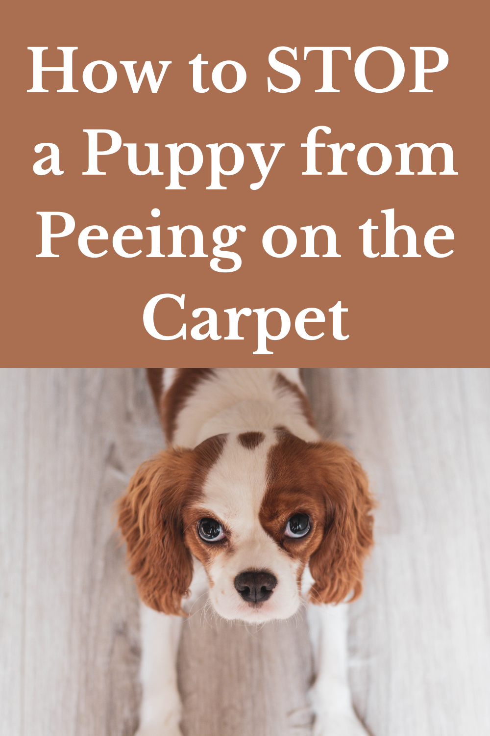 How to STOP a Puppy from Peeing on the Carpet in 10   Puppy ...