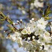 How To Grow Cherry Trees In Zone 8 Ehow Japanese Cherry Tree Growing Cherry Trees Cherry Tree From Seed