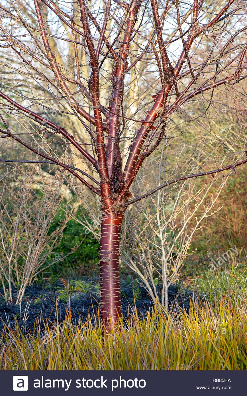 Birch Bark Cherry Blossom Tree