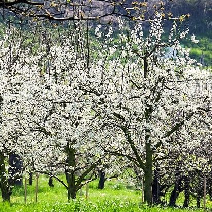 5ft Great White Cherry Blossom Tree 9l Pot Prunus Tai Haku 47 99 Flowering Cherry Tree Cherry Tree Japanese Cherry Tree