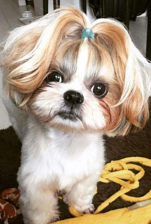 Rakesh Nayak With Images Shih Tzu Hair Styles Shih Tzu Haircuts Dog Haircuts