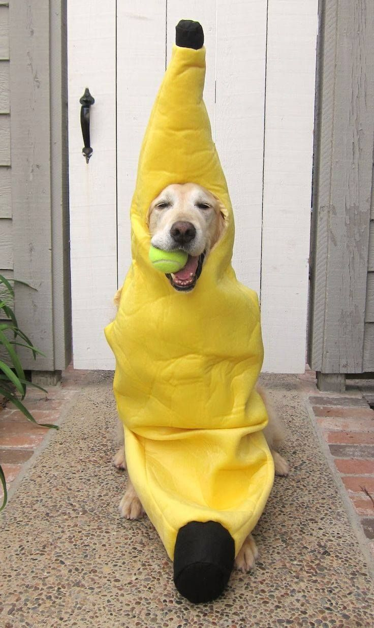 golden retriever in a banana costume | halloween costumes