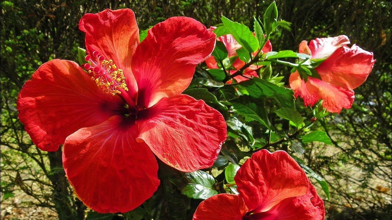 Surprising health benefits of red hibiscus china rose chinese surprising health benefits of red hibiscus china rose chinese hibiscus izmirmasajfo