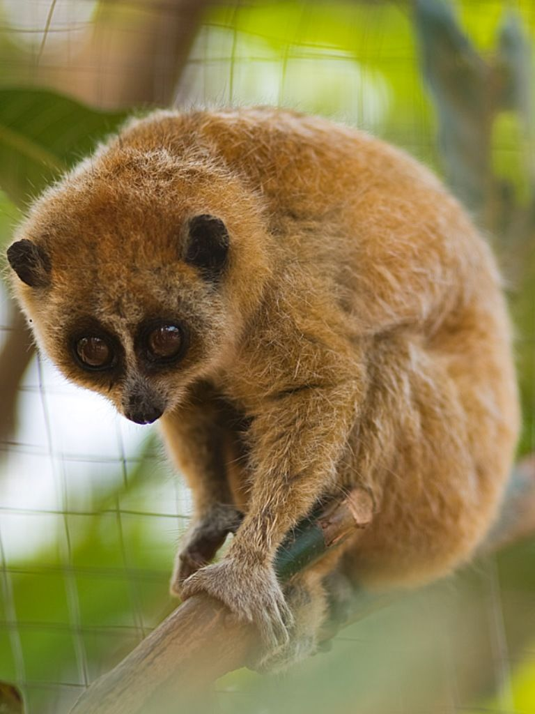 расклады, фотографии животных лори непоседливое животное