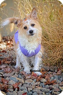 St John In Norwich Terrier Mix Meet Holly A Dog For Adoption