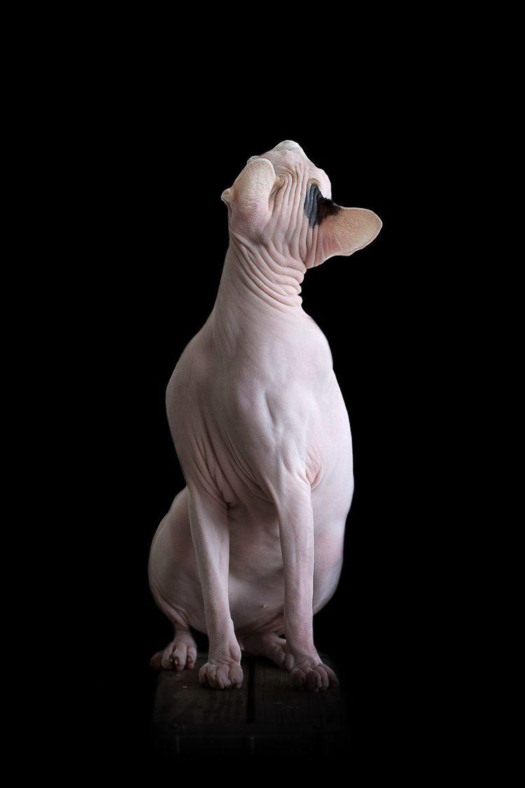 Sphynxes Hairless Cat Cat Portraits Sphynx Cat