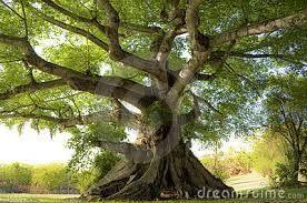 Risultati immagini per pino