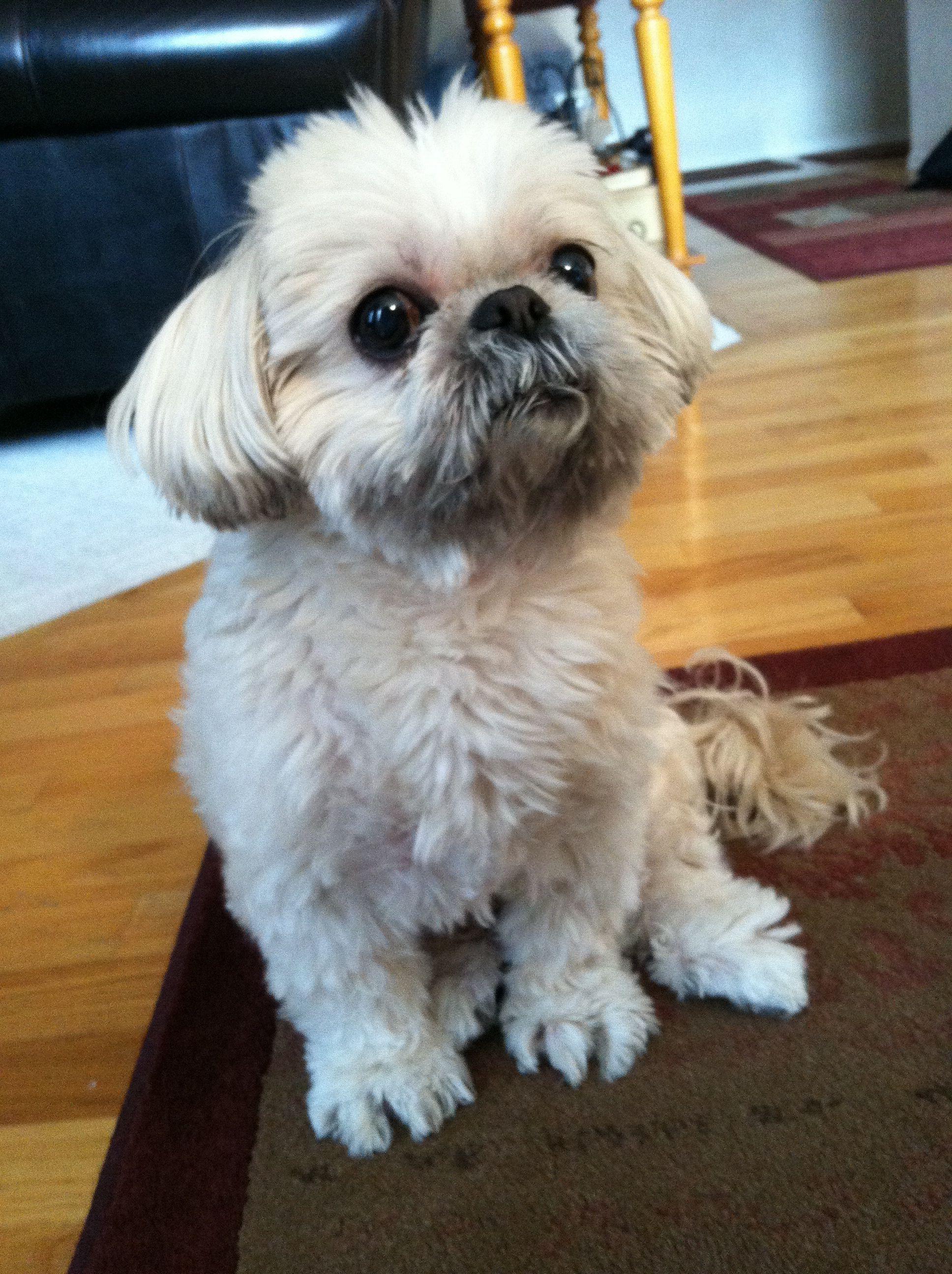 My Shihtzu Lucy Shih Tzu Shih Tzu Puppy Shih Tzu Dog