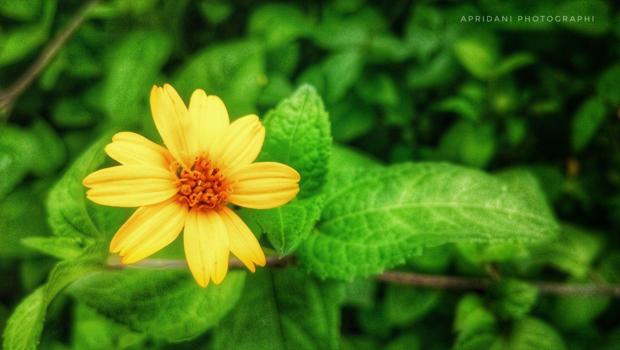 Bunga Berwarna Kuning Ini Ada Yang Menyebutnya Dengan Bunga