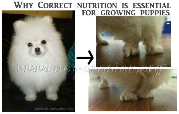 Correct Pomeranian Puppy Feeding   Pomeranian puppy ...