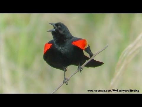 Red Winged Blackbird Song and Territorial Display
