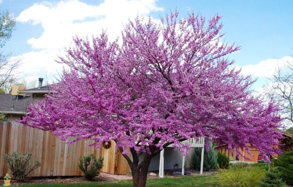 Special pink-purple flowers in Spring! Great Tree For Uplighting at night Super cool blooms leave your neighbors asking what is that tree?