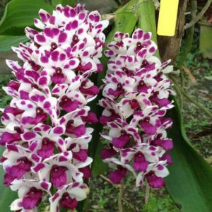 Orchid Plant Buy Orchid Plants Online India Panpit Garden In 2020 Buy Orchids Oncidium Orchids Plants Online
