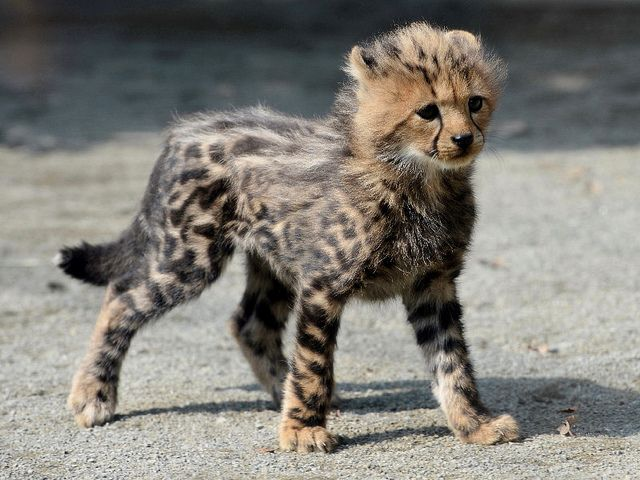 """""""Fang"""" the 2 month old King Cheetah male at Tama Zoo in Tokyo. There have been four King Cheetahs born to 3 different mothers over the last 16 months."""