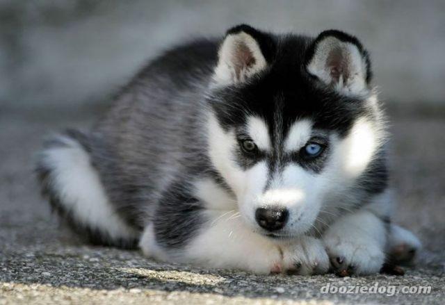 Chiot Husky Noir Et Blanc Chiens Chiots A Adopter Rimouski Bas St Laurent Siberian Husky Puppies Siberian Husky Husky Puppy