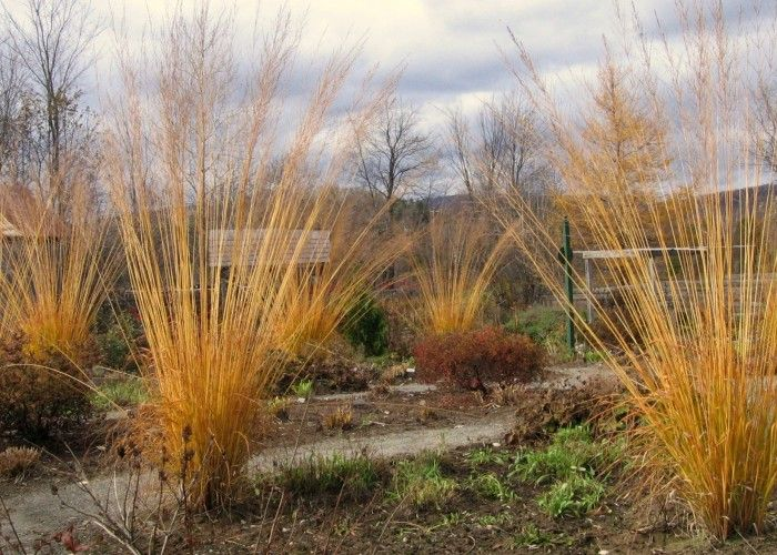 Molinia caerula subsp. Arundinacea 'Skyracer' grows to 7 ft. tall.  A warm season grass that can be planted anywhere in a bed for it's long stems are quite see through.  Turns golden in the fall.