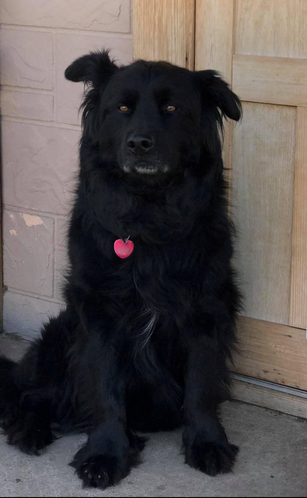 Adopt Zorro On Dog Adoption Foster Dog Newfoundland Dog