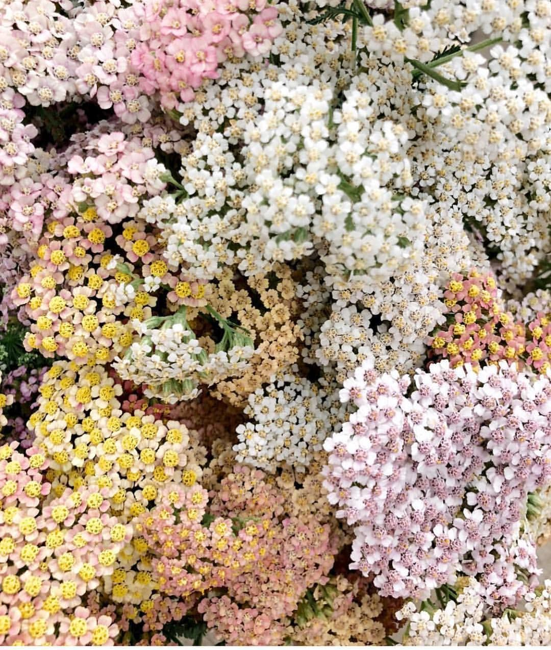 Pinned By Apothecaryteaandgallery Theflowershopkeepers We Love The Delicate Colours Of This Pretty Achille Flower Aesthetic Flowers Beautiful Flowers