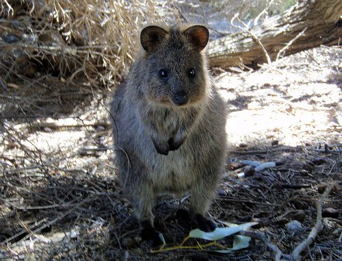This Is A Quokka It S A Real Animal And Its Adorable