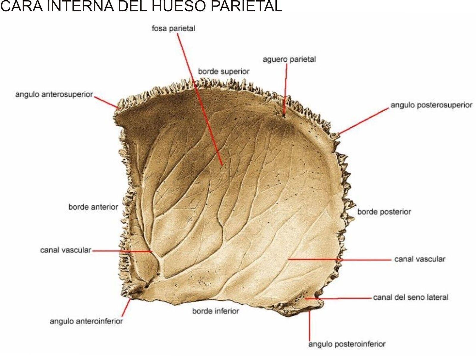 HUESO PARIETAL ANATOMIA PDF DOWNLOAD