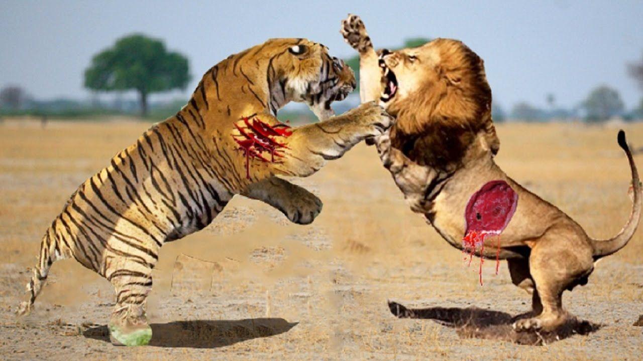 Lion vs Tiger Real Fight To Death   Lion vs Tiger Best ...