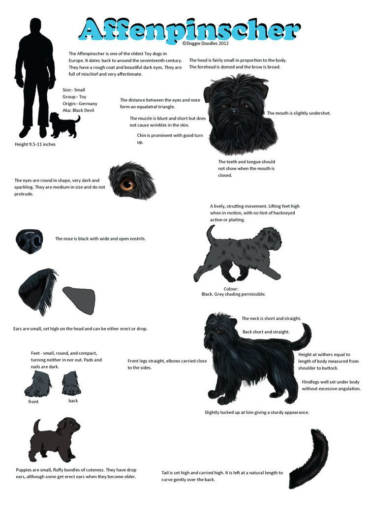 Affenpinscher Guide | Dog Breeds | Pinterest | Dog and Dog breeds
