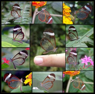 Beautiful transparent butterflies