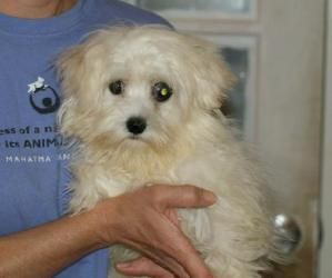 Darcy Is An Adoptable Maltese Dog In Alpharetta Ga Darcy Is 4 To